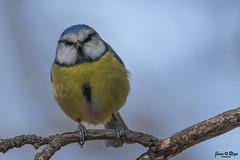 Cyanistes caeruleus (Joan Rigo Arnavat) Tags: birds ocells oiseaux wildlife nature natura tit mallerenga