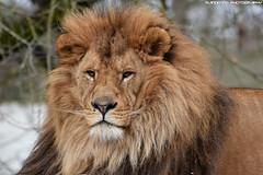 African lion - Olmense Zoo (Mandenno photography) Tags: animal animals african lion lions leeuw leeuwen ngc nature natgeo natgeographic belgie bigcat big cat cats belgium olmense olmensezoo olmen balen