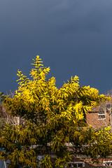 Yellow and black (20190317) (Graham Dash) Tags: addlestone mimosa clouds rainclouds shrubs yellow