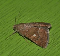 One spot Moth Amyna axis  Acontiinae Erebidae Noctuoidea Airlie Beach rainforest P1460924 (Steve & Alison1) Tags: one spot moth amyna axis acontiinae erebidae noctuoidea airlie beach rainforest
