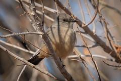 Say's Phoebe Feb 2019-8539 (justl.karen) Tags: nevada nv henderson hendersonbirdviewingpreserve february 2019 bird saysphoebe