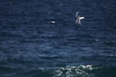 F919 EF100-400/4.5-5.6 7DMkII H89A7990 (Hiro sensei photos) Tags: ef100400mmf4556 7dmkii birds mexico