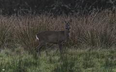 Whoops I forgot to hide (davidrhall1234) Tags: roedeercapreoluscapreolus roedeer deer scotland ganavan oban animal countryside coastal mammal nature nikon outdoors wildlife world woodland