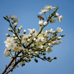happy bee (Sabinche) Tags: blossom bee insect spring nature