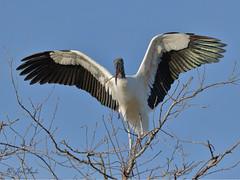 Wood Stork (TomLamb47) Tags: nature wildlife bird wost wood stork tree branch gatorland orlando florida canon 7d2 100400mm