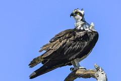 osprey feb 2019 (Mel Diotte) Tags: osprey raptor bird hunter wild nature talons mel diotte nikon d500 200500mm explore