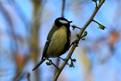 IMG_4987 ~ 2019-03-25 @ Brandon Marsh (www.EGBE.info) Tags: greattit brandonmarshnaturecentre warwickshirewildlifetrust davelenton httpwwwcoptercrazycouk 25032019 wildlifestudies