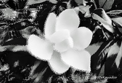 White Magnolia (B&W) (Stephenie DeKouadio) Tags: art artistic abstract abstractart abstractflower abstractflowers abstractpainting flowersabstract flowerabstract magnolia macro macroabstract macropainting blackandwhite monochrome painting bw beautiful beauty