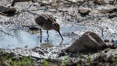 Snipe (iamfisheye) Tags: 300mm vr february nikon f4 naturetrek india d500 xqd afs tc14iii pf greatrannofkutch 2019 gujarat raremammalsandbirdsofgujarat
