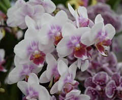Orchid (MJ Harbey) Tags: flower orchid pinkorchid rhs chatsworth derbyshire rhschatsworth chatsworthhouse nikon d3300 nikond3300 orchidaceae asparagales