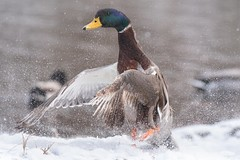 One step leads to another.        ~Unknown (Melinda G Pix) Tags: outdoor nature hunting winter dance mallard bird waterfowl duck