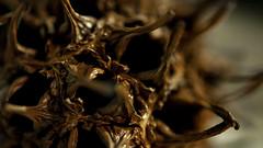 LIQUIDAMBAR FRUTO (jpi-linfatiko) Tags: nikkor40mm28micro nikon naturaleza nature natural d5200 detail detalle macro liquidambar fruto semilla seed fruit abstract abstracto formas shapes organic organico