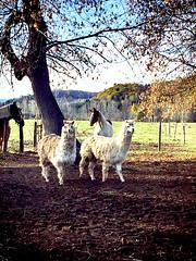 Un petit couple!!! (Bleuetière Ranch KDJD) Tags: animaux alpaga