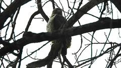 Red-tailed Hawk_8406.mp4 (Henryr10) Tags: ottoarmlederpark hamiltoncountyparkdistrict cincinnati ottoarmledermemorialpark armlederpark littlemiamiriver greatparksofhamiltoncounty usa beanfield overlookwoods