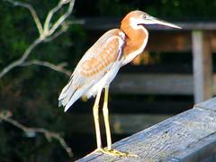 Egretta tricolor --  Tri-colored Heron [juvenile] 650 (Tangled Bank) Tags: palm beach county florida wild nature natural outdoors bird fauna wildlife egretta tricolor tricolored heron juvenile 650