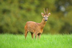 Young Roe Buck (Alan MacKenzie) Tags: roedeer deer animal wildlife nature canon telephoto mammal wild