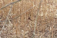 IMG_2829 (Jeffrey Terranova) Tags: canon rebelt6 avenel nj newjersey backyard wildlife cardinal
