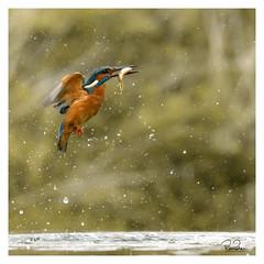 remember to wake up (richgparkes) Tags: kingfisher diving fishing blue orange water