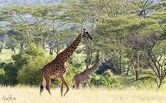 GIRAFFE 2 (Nigel Bewley) Tags: tanzania africa wildlife nature wildlifephotography nigelbewley photologo appicoftheweek giraffe giraffacamelopardalis march march2019 maswagamereserve safari gamedrive