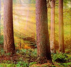 Sunshine (Jenne Barneveld) Tags: sun sunbeams sunray sunshine woods wood forest fairyworld trees tree wonderland morningwalk morning walking nature naturephotography naturesfinest fantasyworld enchanted mystical netherlands