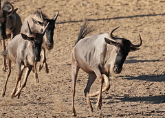 wildebeast Burgerszoo 094A0430 (j.a.kok) Tags: animal africa afrika antilope wildebeast gnoe gnu mammal zoogdier dier herbivore burgerszoo burgerzoo