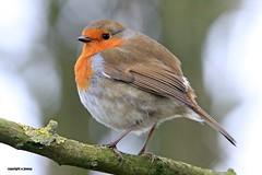 Robin J78A0213 (M0JRA) Tags: rspb robins parks nature ponds lakes water birds fields people trees walks