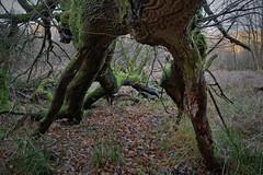 Im Mönchbruchwald (nordelch61) Tags: deutschland hessen heimat naturschutzgebiet mönchbruch mörfeldenwalldorf rüsselsheim wald bäume totholz moos äste wurzeln zweige forest trees roots wood