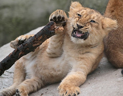 asiatic lion Blijdorp 094A0652 (j.a.kok) Tags: leeuw lion animal azie aziatischeleeuw asia asiaticlion mammal zoogdier dier predator pantheraleopersica blijdorp lioncub welp leeuwenwelp cub asianlioncub