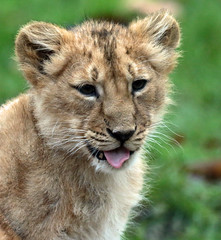 asiatic lion Blijdorp 094A0521 (j.a.kok) Tags: leeuw lion animal azie aziatischeleeuw asia asiaticlion mammal zoogdier dier predator pantheraleopersica blijdorp lioncub welp leeuwenwelp cub asianlioncub