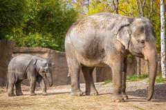 Motherhood (Thomas Hawk) Tags: america forestpark missouri mo mothersday saintlouiszoo stlouis usa unitedstates unitedstatesofamerica baby babyelephant elephant motherhood zoo