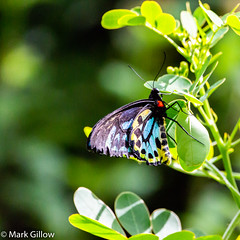 Richmond Birdwing Butterfly (Mark Gillow) Tags: richmond birdwing butterfly insect australia
