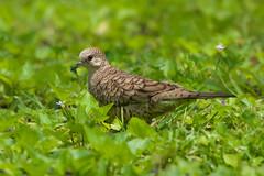 Inca Dove (stephaniepluscht) Tags: louisiana 2019 1834 inca dove woodland plantation circa