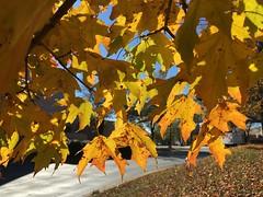 IMG_0275 November 17 2018 (tombrewster6154) Tags: friendly shopping center greensboro north carolina november fall foliage autumnal beauty vivid yellowish orange leaves maple trees branches shadows