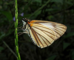Heliopetes arsalte (Over 5 million views!) Tags: butterfly heliopetesarsalte hesperiidae peru butterflies insect