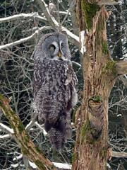 Bea Great Gray Owl CRC IMG_3242 (Jennz World) Tags: ©jennifermlivick canadianraptorconservancy vittoria ontario canada greatgrayowl greatgreyowl owl raptor bird winter snow