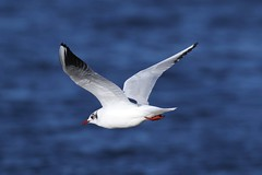 0M2A3601 Black-headed Gull (kevin_livesey) Tags: birdwatching wwt martin mere blackheaded gull nature wildlife