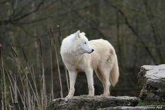 Loup arctique_SIUT (Passion Animaux & Photos) Tags: loup arctique arctic wolf parc animalier saintecroix france