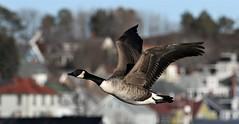 Canada Goose (kearneyjoe) Tags: canadagoose lunenburg novascotia flight