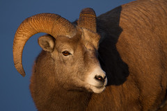 Rocky Mountain Ram (markvcr) Tags: bighorn ram sheep rockies mountains alberta canada nature wildlife coth5 ngc naturethroughthelens