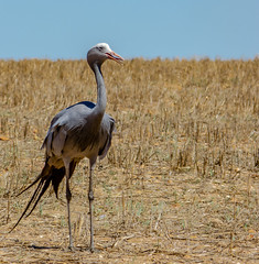 Blue Crane (bransch.photography) Tags: africa sunny natural beak capeagulhas nature sky wing day wild vegetation background weather animal summer southafrica feather majestic wildlife beautiful reserve crane bird landscape dehoopnaturereserve dehoop illustration blue hot gray