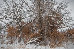 (Brett Whaley) Tags: 2019 canoneos77d crowhassanparkreserve february quercussp redoak whiteoak winter wrightcounty minnesota snow