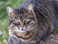 IL GRIGIO DEL POETA CLAUDIO. (FRANCO600D) Tags: micio micione cat canon eos6dmarkii 908 52 44 animale felino sguardo