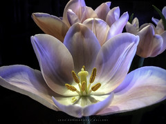 Ballet Pink Tulip (Beth Crawford 65) Tags: nature flora flower tulip gentle pink macro petals spring easter peace peaceful beautiful soft natural romantic love best bethcrawford lookphotographygalleryphotogirlbeth delicate valentine soe watcher