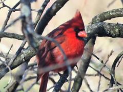 Male cardinal in Charleston (JJP in CRW) Tags: cardinals birds westvirginia charleston