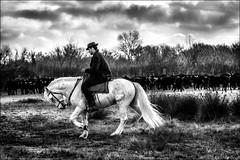 I'm a poor lonesome gardian... (vedebe) Tags: paysages camargue france homme gardians chevaux equin taureaux noiretblanc netb nb bw monochrome travail animaux