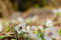 DSC_0023 (ponkiti3) Tags: セツブンソウ 京都 府立植物園 植物 風景