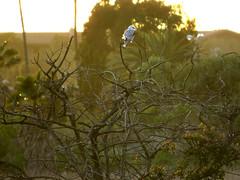 White-tailed Kite at rest on a Laurel Sumac snag tree (stonebird) Tags: whitetailedkite elanusleucurus ballonawetlandsecologicalreserve areaa february img9129