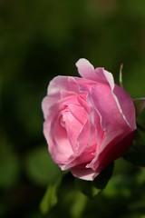Princes Claire van België     Pathé <<Fluor F>> 115mm (情事針寸II) Tags: クローズアップ 自然 花 薔薇園 薔薇 closeup bokeh oldprojectionlens pink nature fleur flower rosegarden rose pathéfluorf115mm