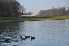 local inhabitants (Jeanne Menjoulet) Tags: geese oies grandbassin aquatic birds oiseaux versailles