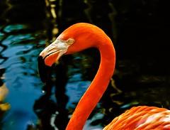 drop (Pedro1742) Tags: orange flamingo animal reflections